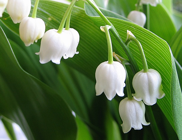 muguet lily of the valley absolute oil 100 pure convallaria majalis. Black Bedroom Furniture Sets. Home Design Ideas