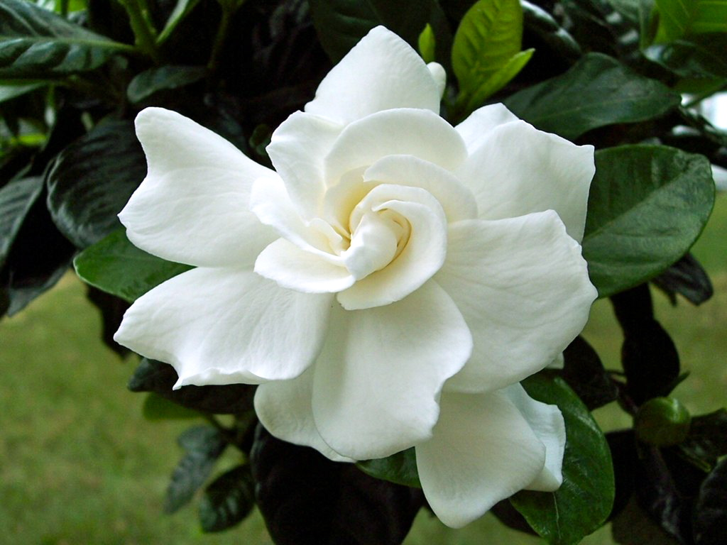 Gardenia Is Primarily Valued For Its Highly Scented Blossoms Although Flowers Have Culinary And Medicinal Uses As Herbs