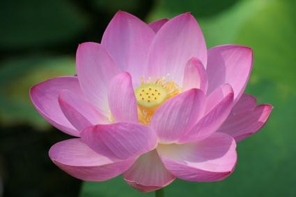 Sacred flower under hood :)